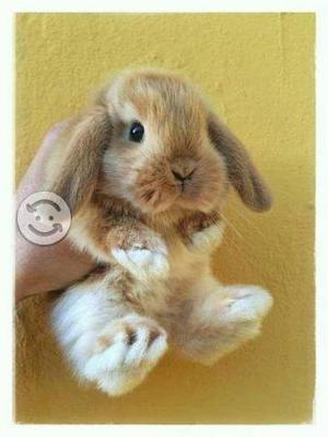 Conejos mini lop paquete