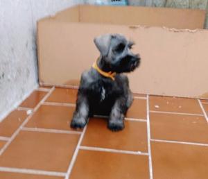 Cachorra Schnauzer mediano sal y pimienta