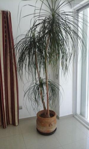 Palmeras grandes con macetas en venta posot class - Tipos de palmeras de interior ...