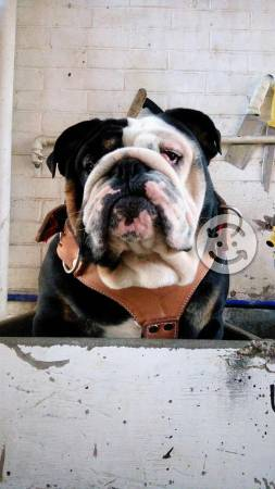 Semental bulldog exótico