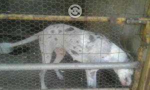 V/C perra gran danés arlequín