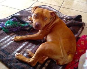 Amigable perrita Pitbull en adopción