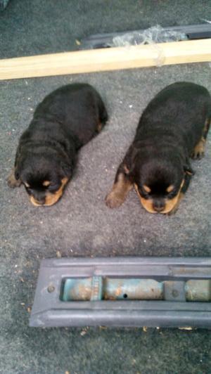 Cachorros Rottweiler Americanos