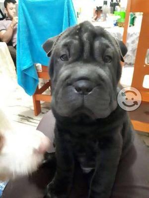 Shar Pei cachorro