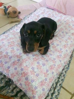 dachshund salchichas miniatura