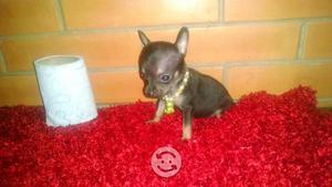 Chihuahuas minis