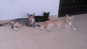 Adopta un gatito de 12 semanas