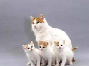 Gatitos Angora Van turco