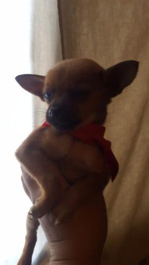 Chihuahua - Anuncio publicado por Avelina
