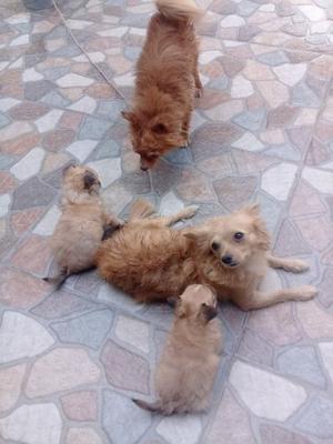 Cachorros Chihuahua Pelo Largo