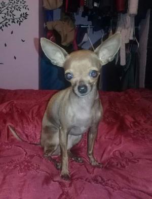 Chihuahua cruzado con salchicha posot class for Vendo chihuahua barcelona
