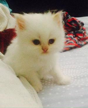 Gatitos Persa excelente genetica