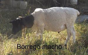 Borrego dorper