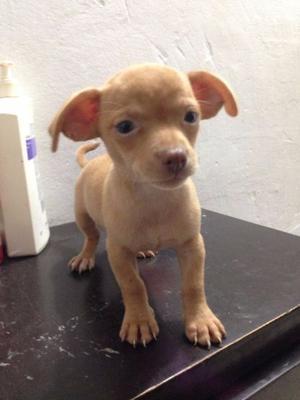 Vendo Perrito Chihuahua