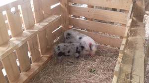 Cerdos enanos