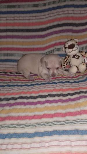 Chihuahua - Anuncio publicado por chusca84
