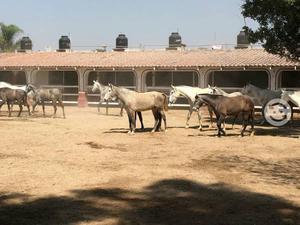 Caballos de raza española