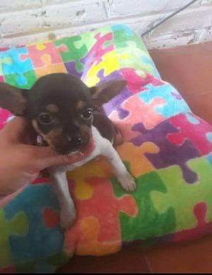 Chihuahua - Anuncio publicado por aranza
