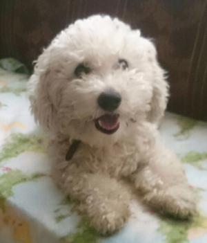 french poodle en adopcion