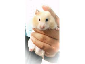 Hamsters en adopción