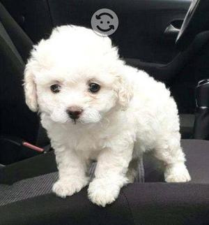 Cachorritos french poodle mini