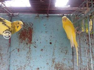 Vendo periquitos australianos varios colores