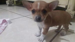 Chihuahuas cabeza de manzana
