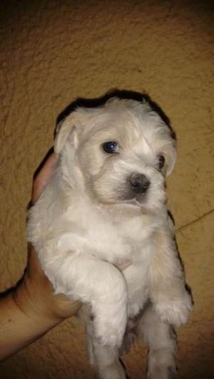 Se vende French poodle con maltes