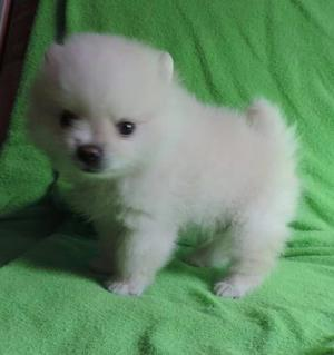 Cachorros pomerania blancos