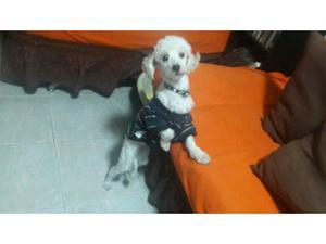 French Poodle en adopción