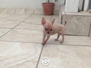 Busco: Chihuahua de bolsillo cabeza de manzana compro