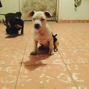 Cachorros American Bully pocket