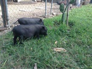 vendo o cambio cerdos vietnamitas y gallinas golonas