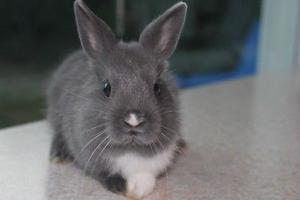 Conejo miniatura