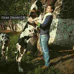 Cachorros Gran Danes Arlequin Criadero Profesional