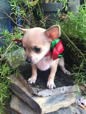 Chihuahua - Anuncio publicado por Mariana Diaz