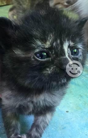 Gatos persa angora