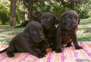 Labrador Paja,chocolate Y Negros. Cachorros De Exposicion