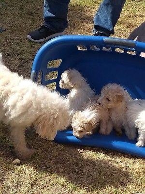 Perritos french poodle adopción