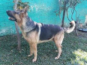Busco novia para mi perro pastor aleman