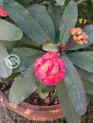 Maceta con Flor Corona de Cristo