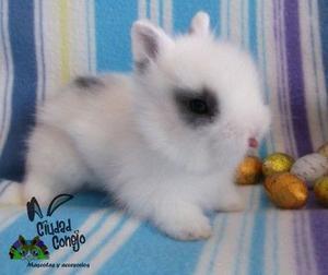 conejos enanos mini...