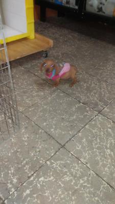 dachshund - Anuncio publicado por maria luisa