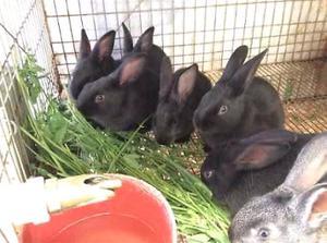 conejos de raza chinchilla y nueva zelanda