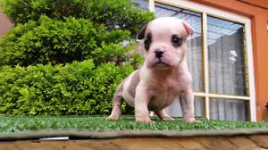 cachorra american bully pocket