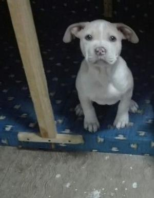 Cachorra pitbull Faw bully