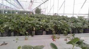 Planta De Fresa En Maceta En Produccion Buen Fin Precio