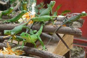 Criadero De Iguana Verde 21 Cms Documentos En Regla