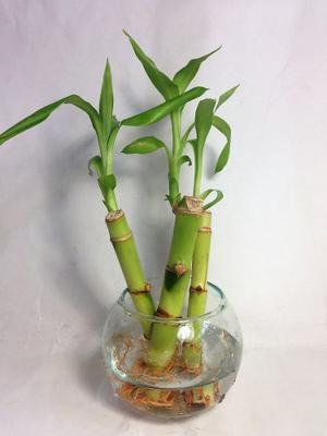 Planta Bambu De La Suerte Natural Suelto 15 Cm Altura