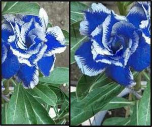 5 Semillas De Rosa Del Desierto Azul Adenium Azul Genuinas